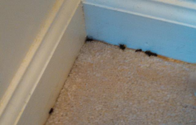 Large Black ants turn out to be Damaging Carpenter Ants - Ant control & rem...
