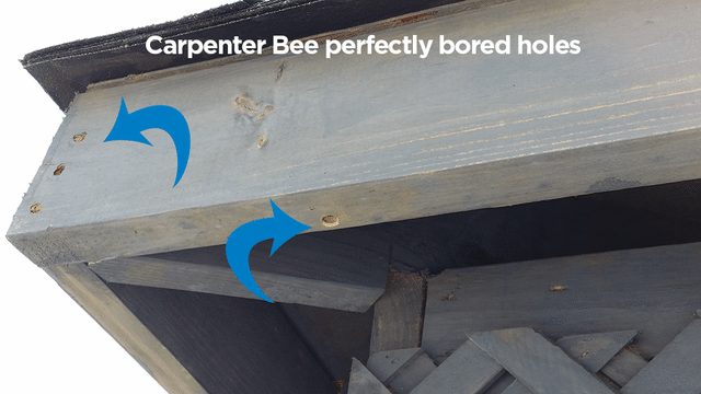 Carpenter Bees damage storage shed - Bee removal and control in Bayville, N...