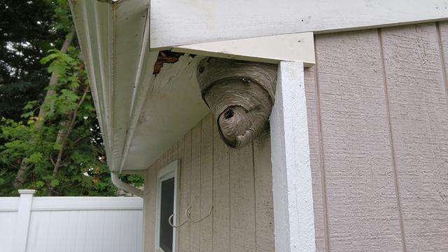 Hornets in huge nest threaten Manahawkin residents - Bee & hornet control a...