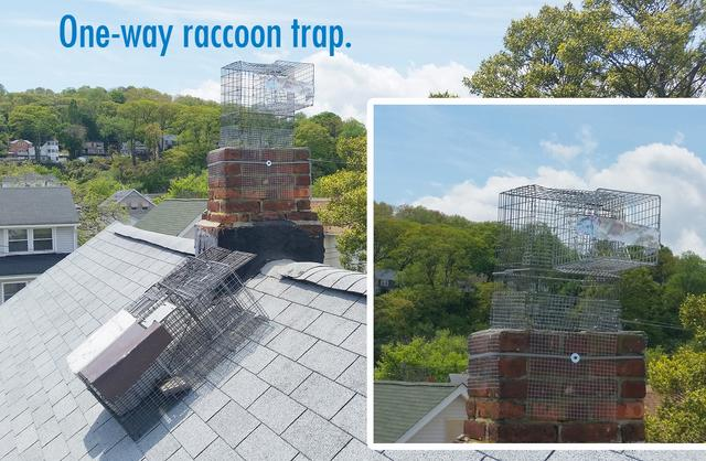 Raccoons removed and excluded in Piscataway, NJ