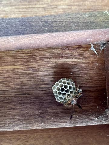 Paper Wasp Nest Found and Removed in Princeton, NJ