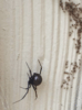 Itsy Bitsy Black Widow in Windsor - Photo 1