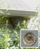 Large hornets nest found on Hazlet, NJ home. - Photo 1