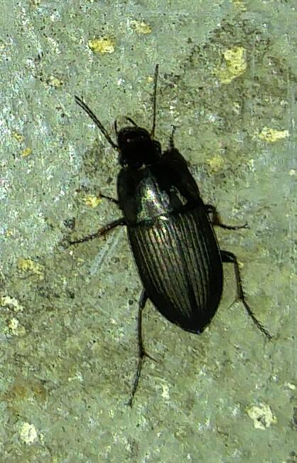 Ground beetle in Milltown, NJ