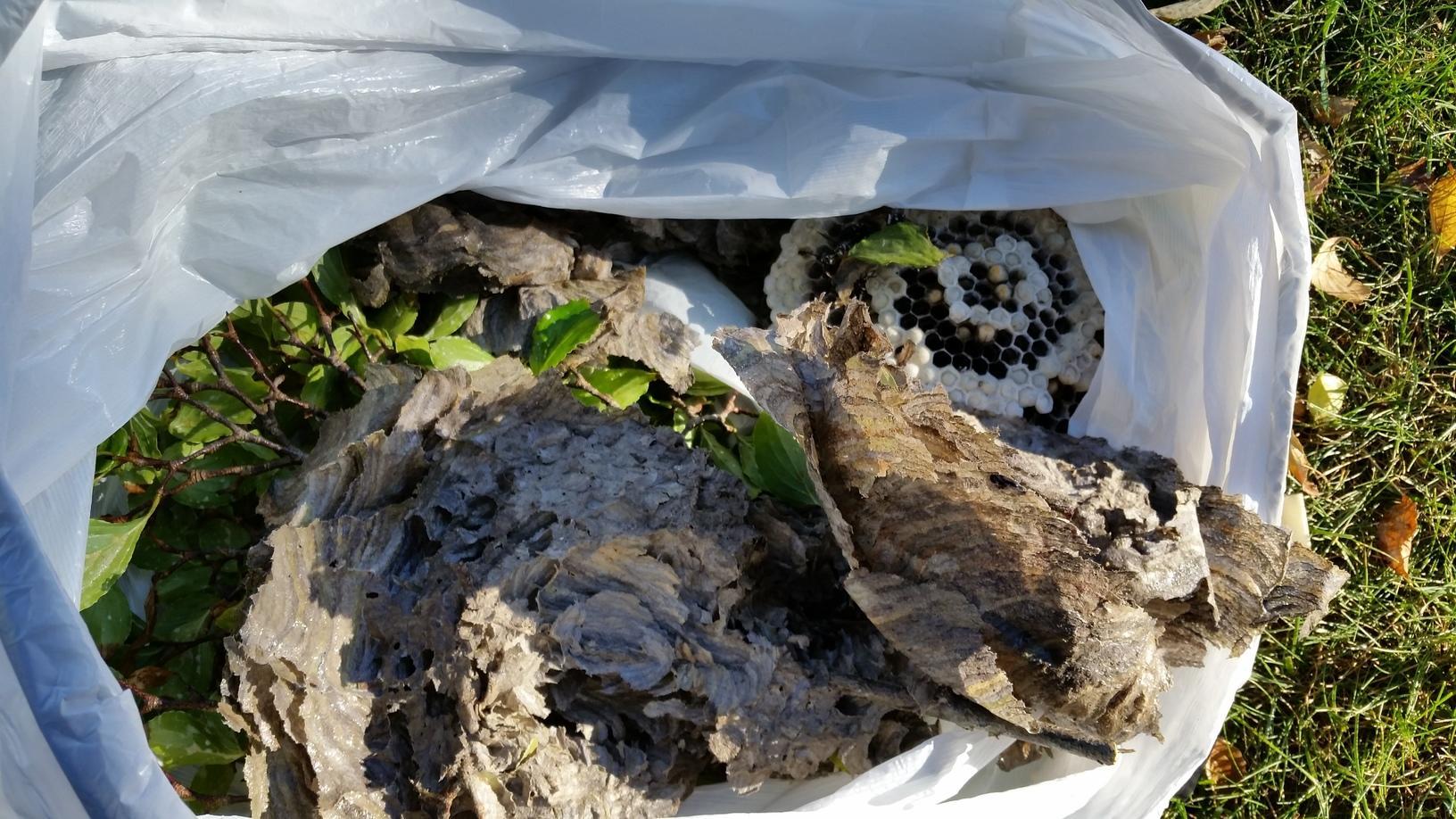 Removal of hornets nest in Iselin, NJ