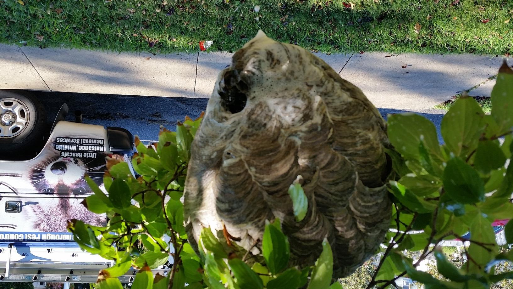 Bald faced hornets nest in Iselin, New Jersey
