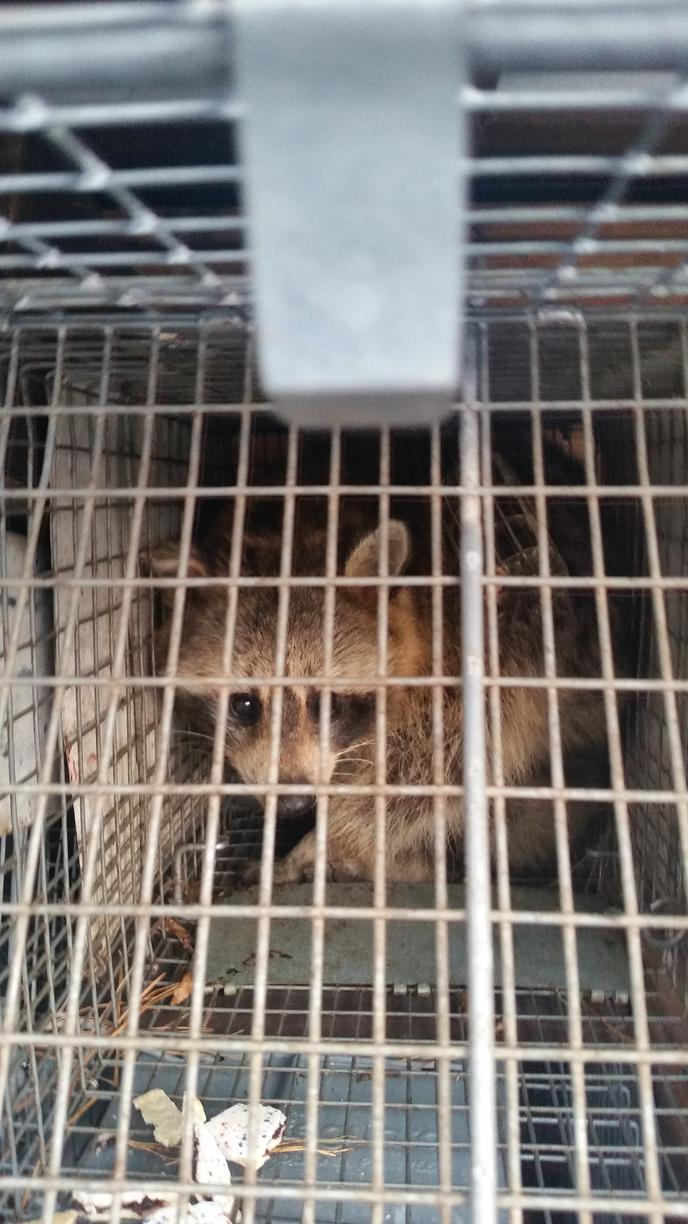 Trapped raccoon in South River, New Jersey