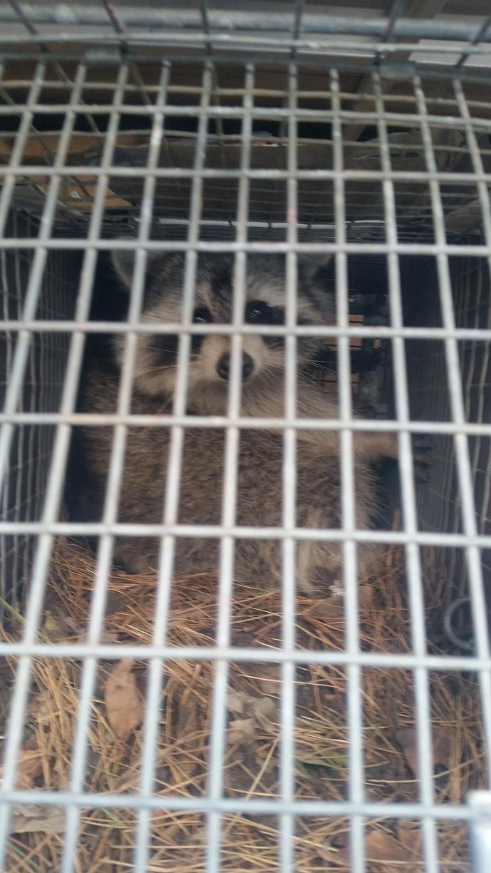 Trapped raccoon will be relocated