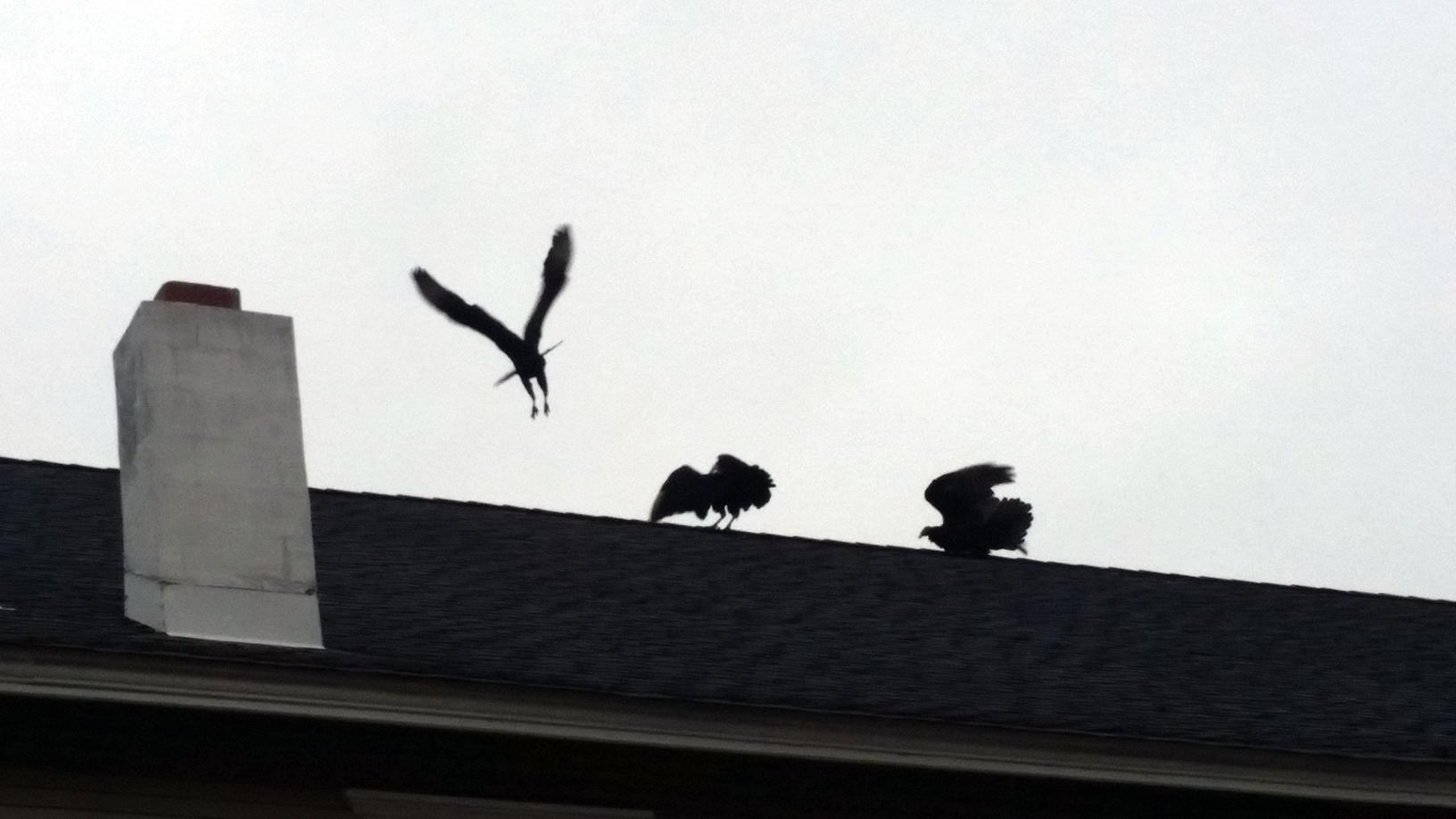 Vultures in New Jersey