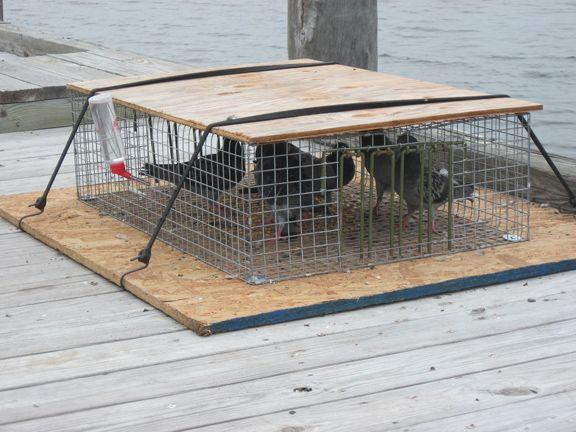 Captured Pigeons