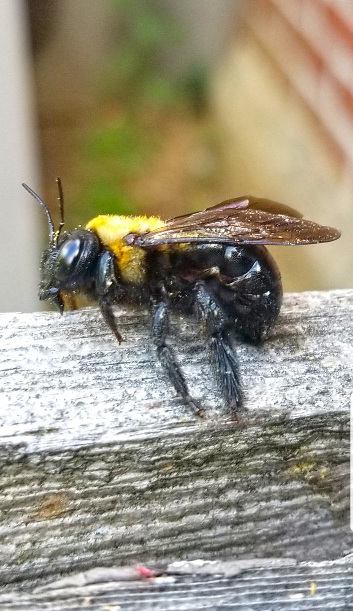 The Male Carpenter Bees