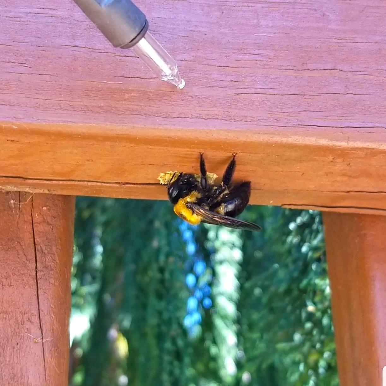 Carpenter Bee Drilling