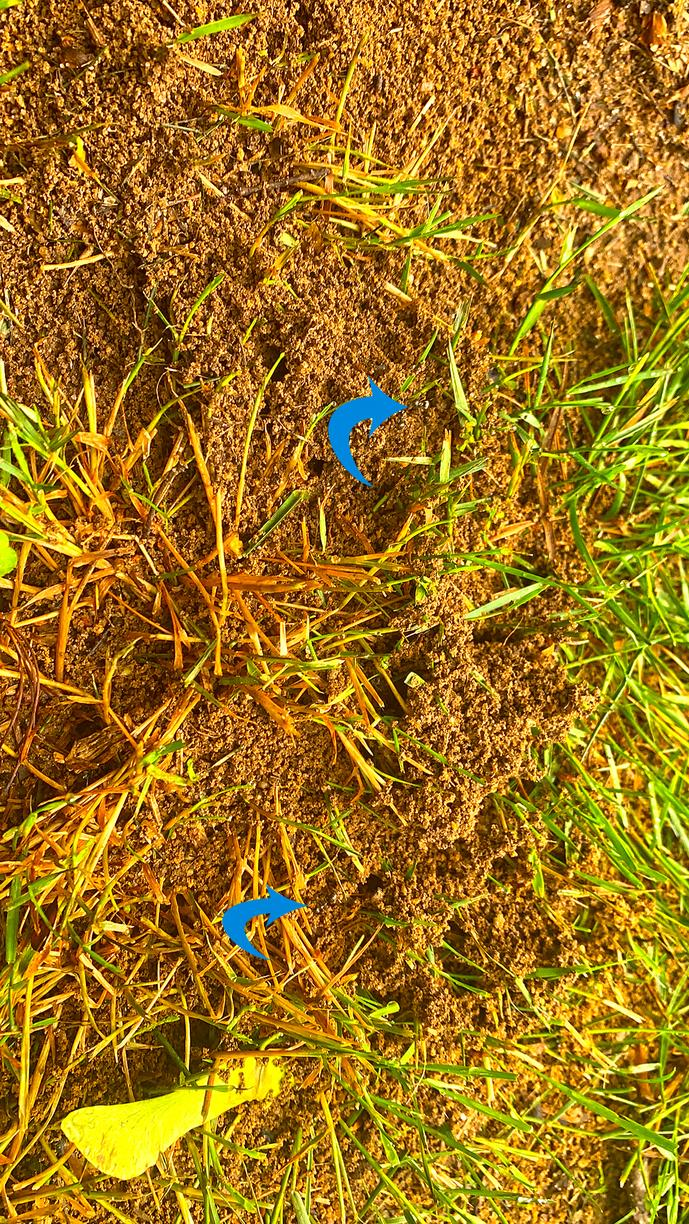 Carpenter Ants in the Grass