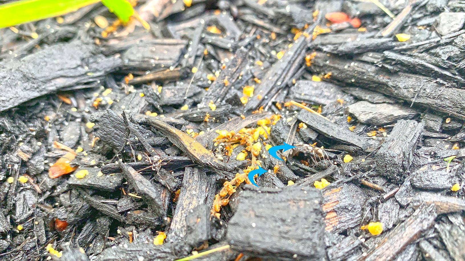 All About Citronella Ants