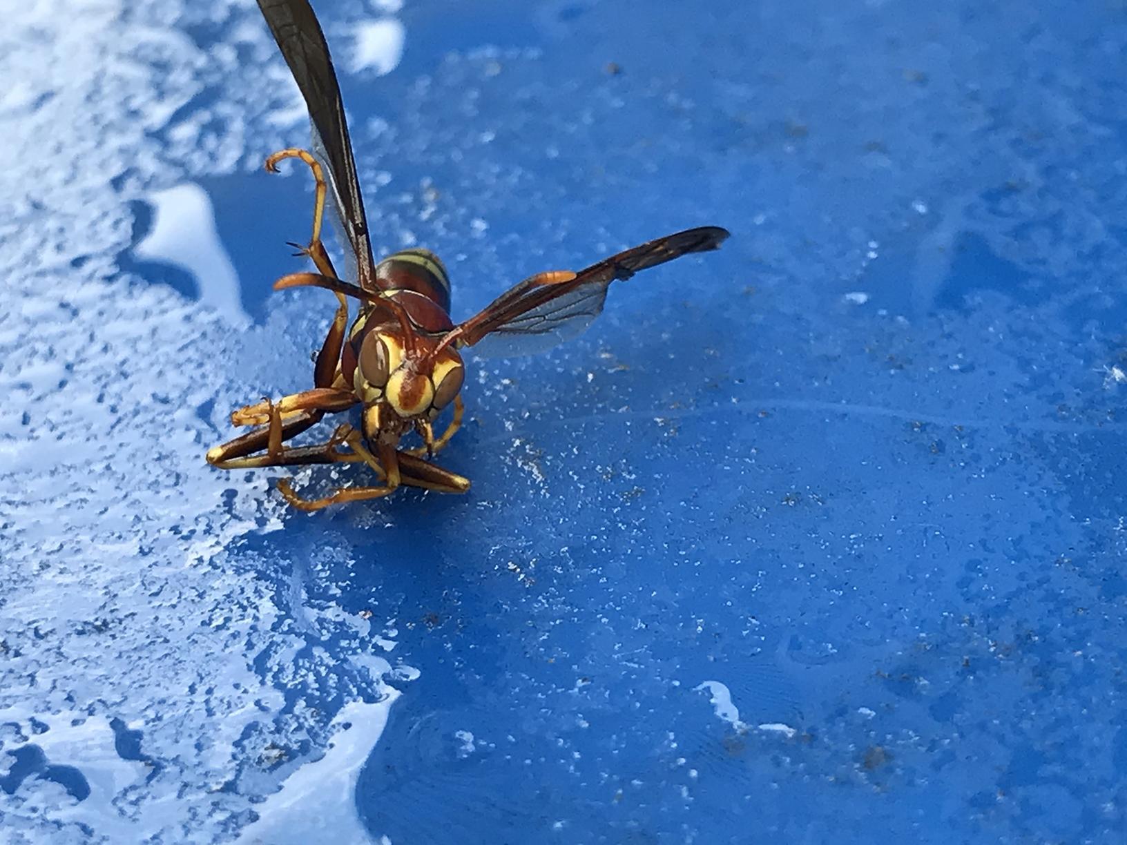 Entomology of Paper Wasps
