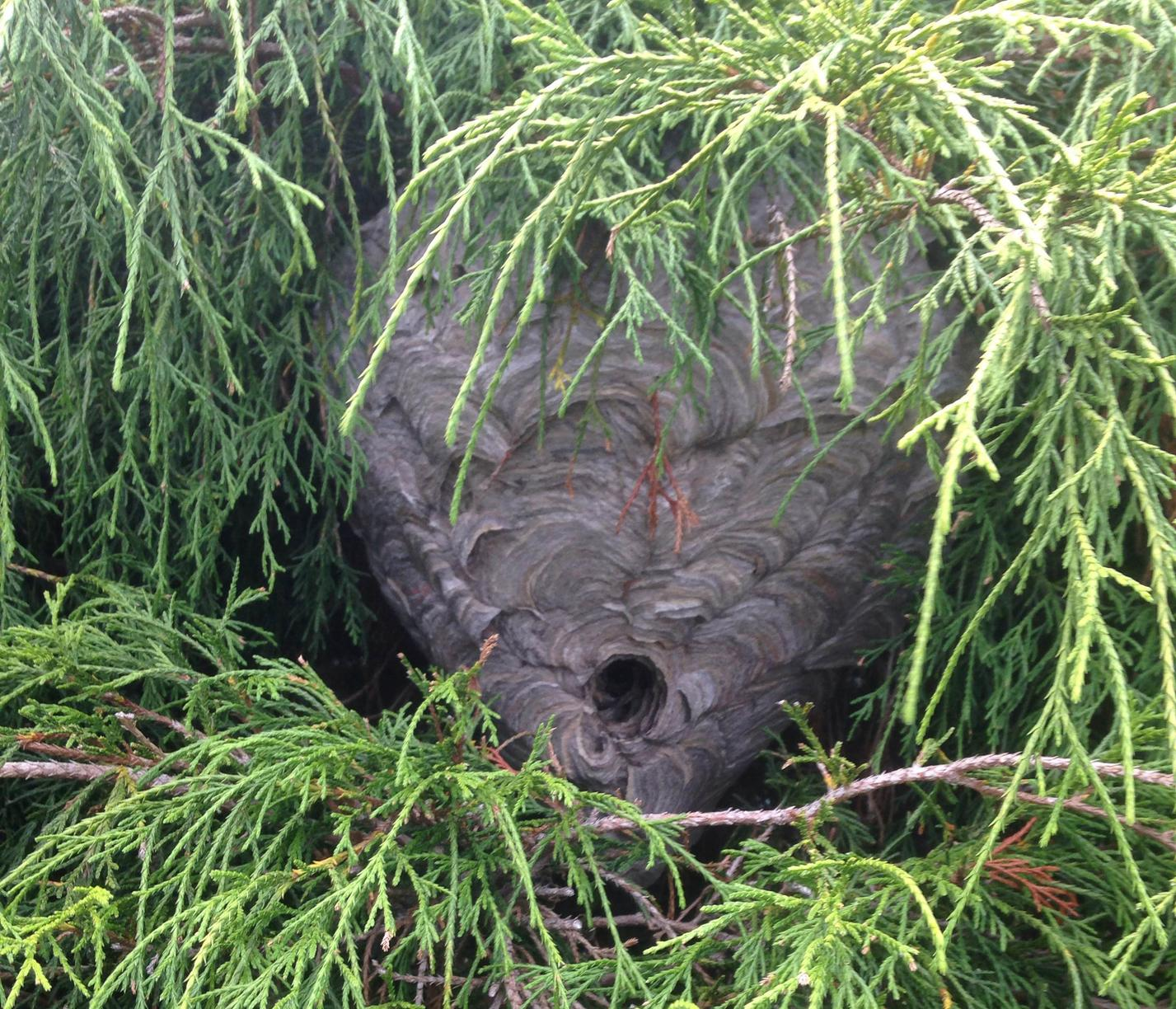 Giant bald-faced hornet nest in Tinton Falls