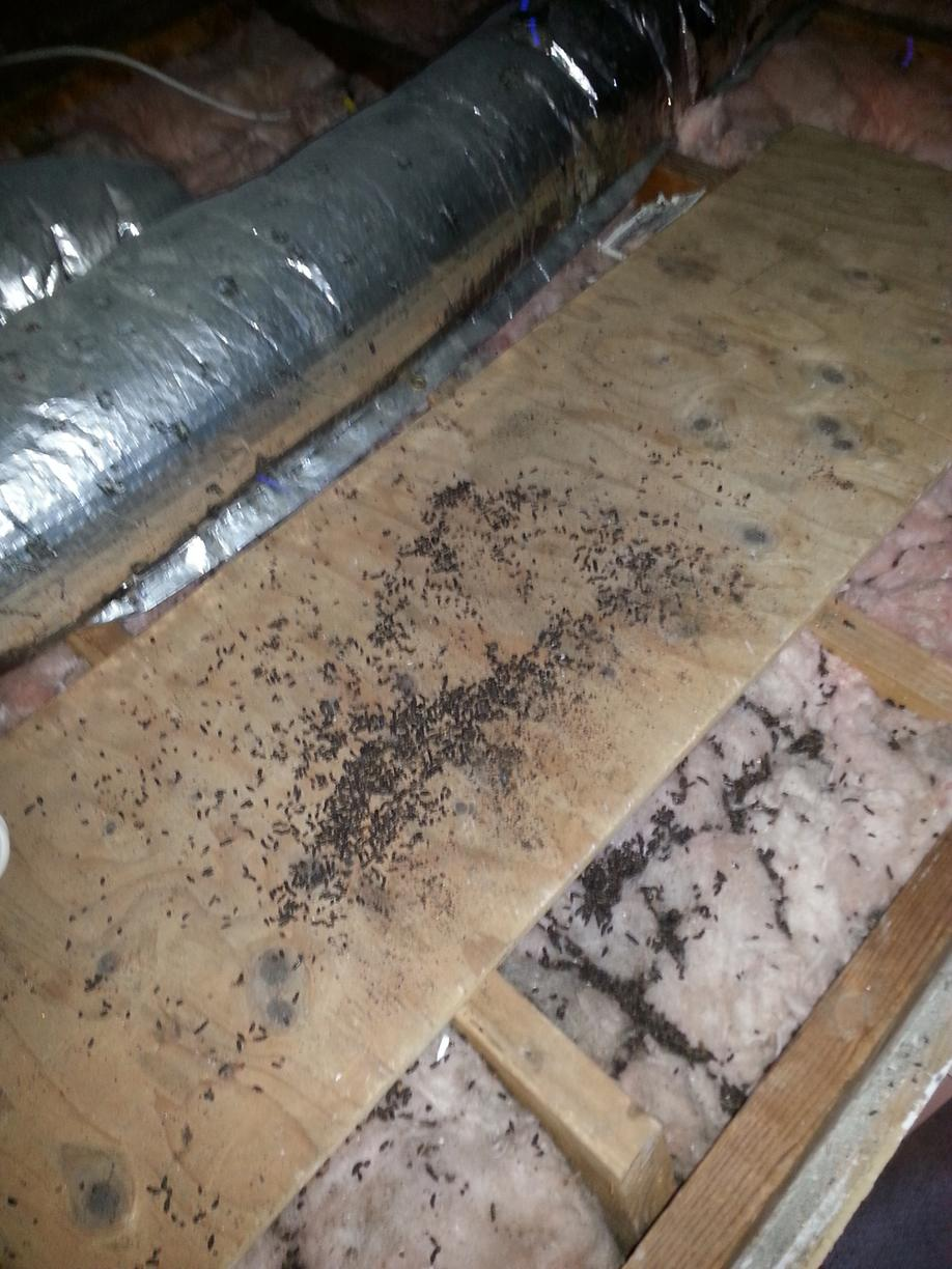 Bat droppings in attic insulation in Marlboro, NJ