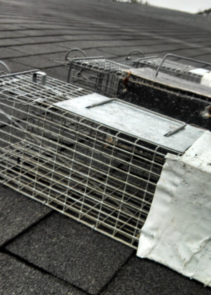 Wildlife Removal Squirrel Traps Needed In Manalapan Nj