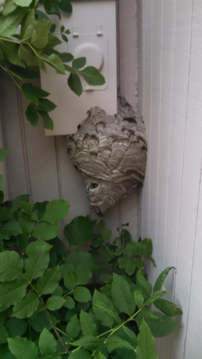 Large hornet nest near water meter in Allentown