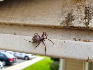 While treating the porch overhang with a residual aerosol, this Orb Weaver spider, about the size of a half-dollar, caught me off guard.
