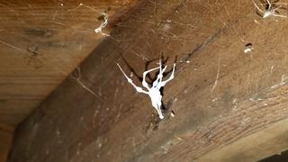 As I began treating the basement, I noticed something interesting - cellar spiders! They were all over the basement! These creepy crawlers are are usually dull in color, less than 0.5 inches in length, and are mistaken for daddy longlegs.