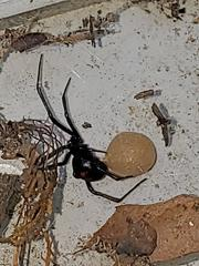 Black widows are black in color with two reddish triangular markings that look like an hourglass. Their venom is 15 times stronger than a rattlesnake's and can cause muscle aches, nausea, and breathing difficulties.