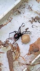 I opened up the RTU bait station and was greeted by a black widow spider and her giant egg sac!
