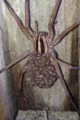 Wolf Spider on a client's fence.