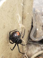 As I was about to treat the garage, I found a black window spider in the  corner of the door.