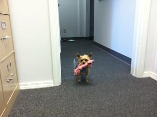 This is Precious. She is a 13 year old tea cup Yorkie and the leader of the pack.